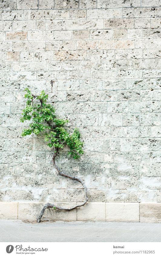 Wachstumsstörungen Pflanze Baum Blatt Baumstamm Mauer Wand Steinmauer außergewöhnlich hell grün verwachsen Kurve abartig seltsam ausweichen Ausweg Farbfoto