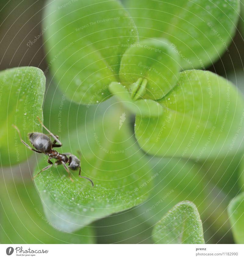 Ameise auf Grün Natur Pflanze grün Blatt Tier Umwelt Frühling Wildtier Schönes Wetter Insekt krabbeln