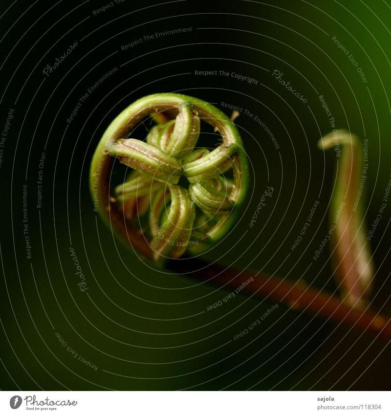 eingerollt Natur Pflanze grün braun ästhetisch Beginn rund Rad nachhaltig Rolle Verbundenheit Farn Speichen einheitlich Daoismus