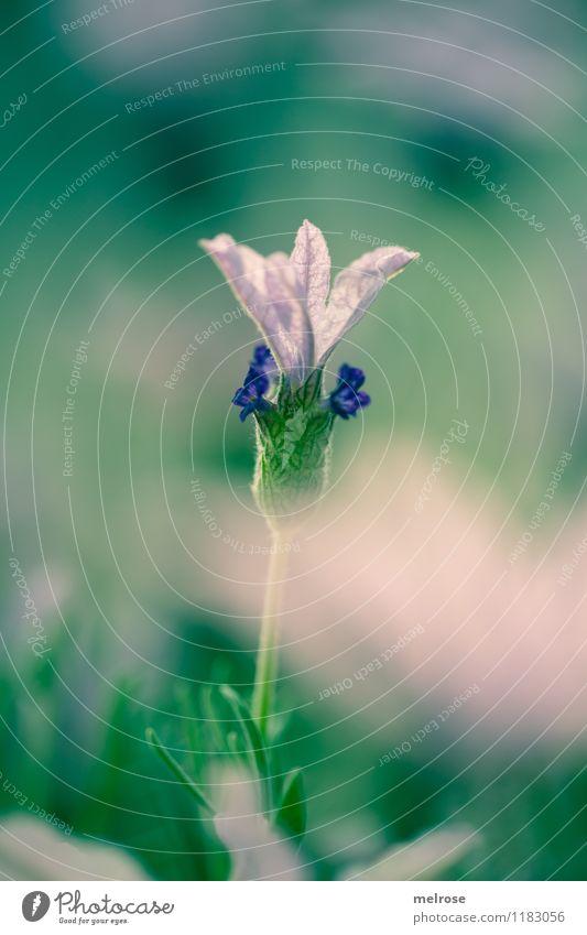 Schmetterlings-Lavendel Pflanze schön grün Erholung Blume Blatt Frühling Blüte Wiese Gras Stil Garten rosa leuchten Wachstum elegant