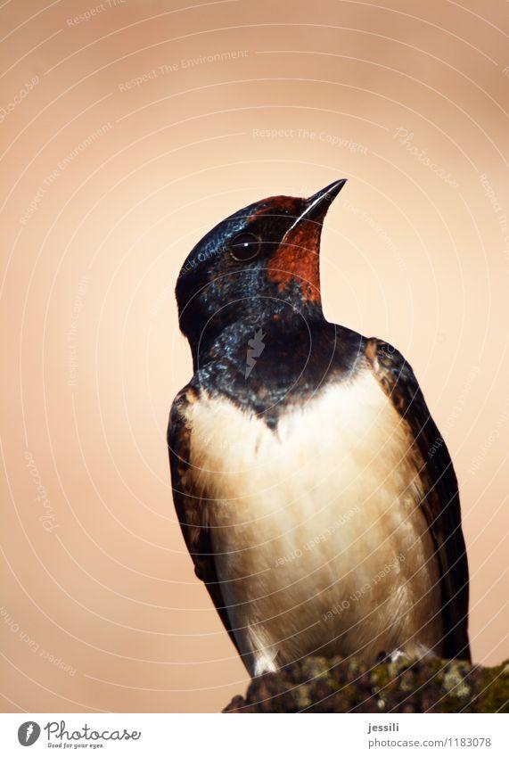 Whhhat? Vogel 1 Tier beobachten glänzend hocken sitzen lernen oben orange schwarz Wahrheit Unglaube Dekadenz Entschlossenheit Erwartung Neugier Zweifel forschen