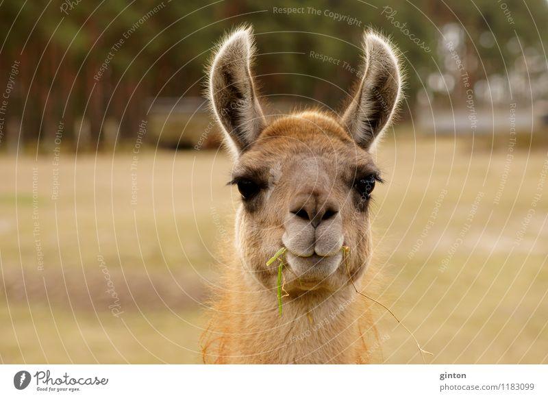 Lustiges Lama Tier Gras Nutztier 1 Fressen hören Freundlichkeit lustig Neugier Wachsamkeit Kamel Lasttier Kopf Porträt Kopfporträt Ohren große Ohren
