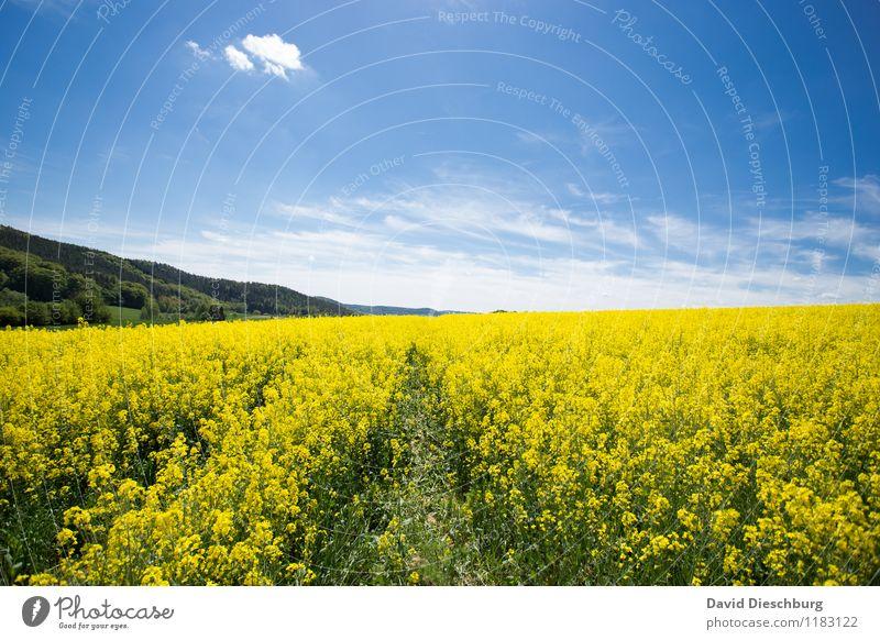 Der Raps steht hoch Landwirtschaft Forstwirtschaft Natur Landschaft Pflanze Tier Himmel Wolken Frühling Sommer Schönes Wetter Blume Blüte Nutzpflanze Feld blau