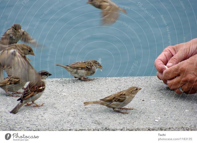 Wer kriegt den Brösel? Hand Finger Wasser Seeufer Tier Vogel Tiergruppe fliegen Fressen füttern frech frei Neugier blau braun grau Tierliebe Natur Tiere