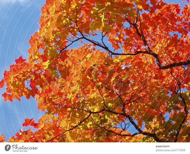 Indian Summer Baum rot Blatt gelb USA Ast Herbst Zweig Herbstlaub Ahorn Färbung