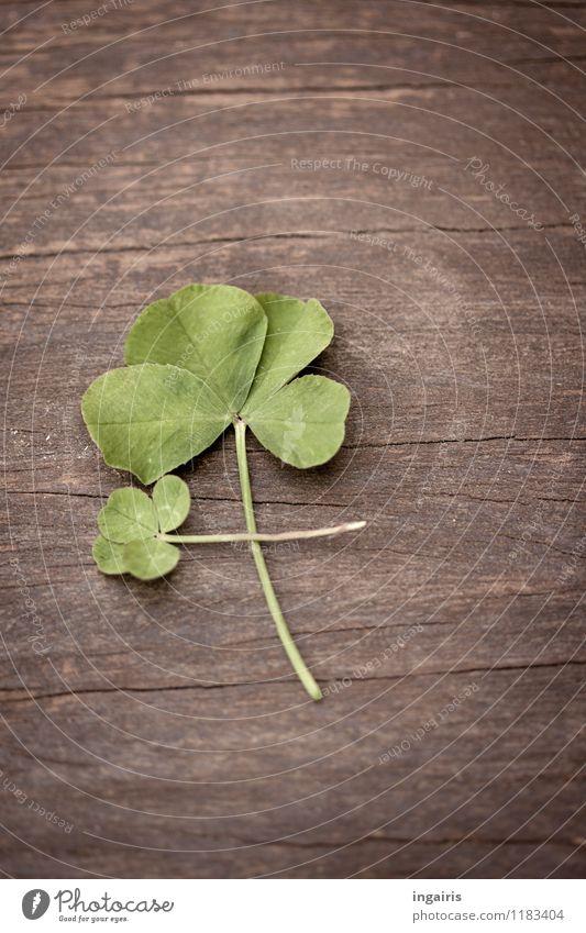 Achtblättrig Pflanze grün Blatt Holz Glück klein Religion & Glaube außergewöhnlich braun liegen Dekoration & Verzierung groß einzigartig Zeichen Wunsch Glaube
