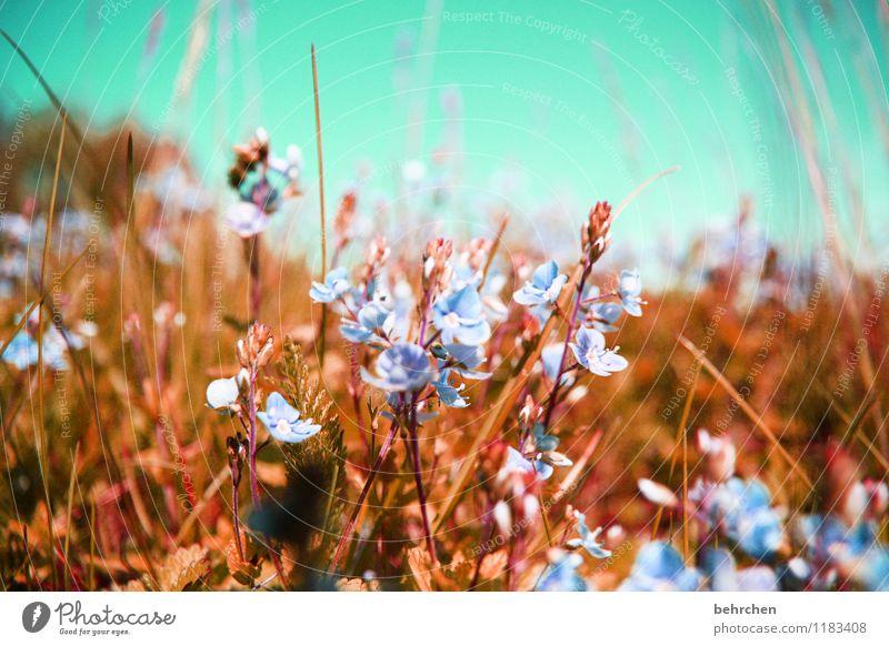ein bett im...blumenfeld Natur Pflanze Himmel Wolkenloser Himmel Frühling Sommer Herbst Schönes Wetter Blume Gras Blatt Blüte Wildpflanze Veronica Garten Park