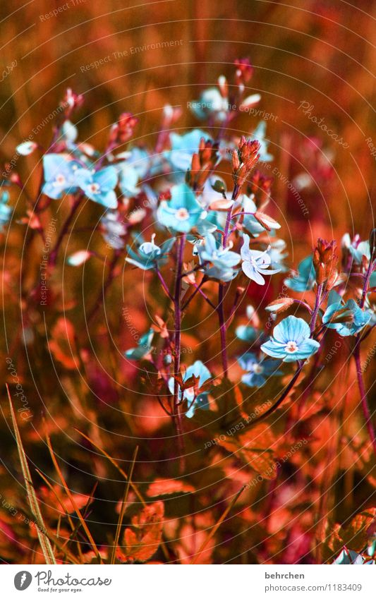 blue Natur Pflanze Frühling Sommer Schönes Wetter Blume Gras Blatt Blüte Wildpflanze Veronica Garten Park Wiese Feld Blühend Duft verblüht Wachstum schön klein