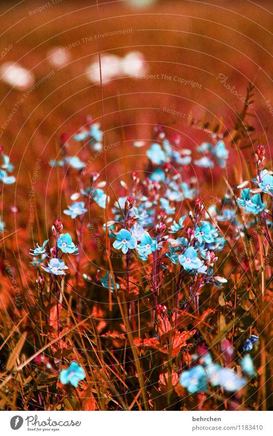 farbe bekennen Natur Pflanze Frühling Sommer Herbst Schönes Wetter Blume Gras Blatt Blüte Wildpflanze Veronica Garten Park Wiese Feld Blühend verblüht Wachstum