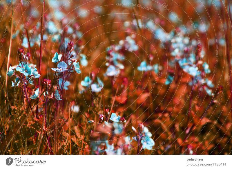 kleinigkeiten Umwelt Natur Pflanze Frühling Sommer Herbst Blume Gras Blatt Blüte Veronica Garten Park Wiese Feld Blühend Wachstum schön niedlich blau braun