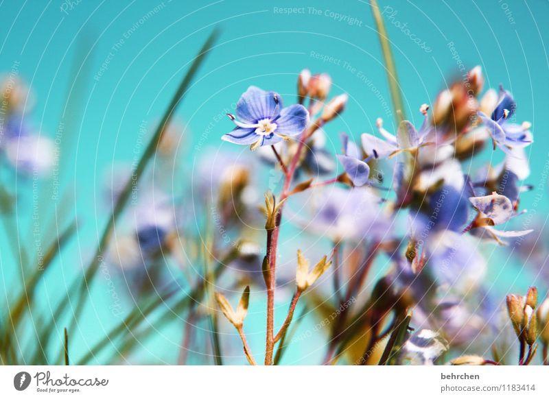 warten Natur Pflanze Himmel Frühling Sommer Schönes Wetter Blume Gras Blatt Blüte Wildpflanze Veronica Garten Park Wiese Feld Blühend Duft verblüht Wachstum