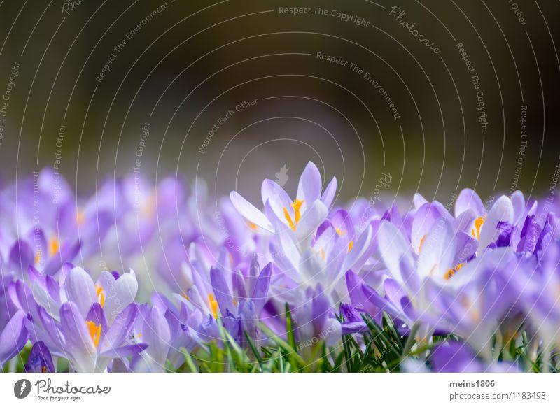 Krokos Natur Pflanze Sommer Blume ruhig Umwelt Frühling Freiheit Hoffnung Wellness violett verblüht Wildpflanze