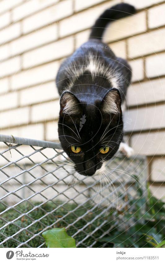 sprungbereit Garten Tier Haustier Katze Tiergesicht 1 Tierjunges beobachten entdecken hocken Jagd Blick klein nah Neugier niedlich Gefühle Interesse