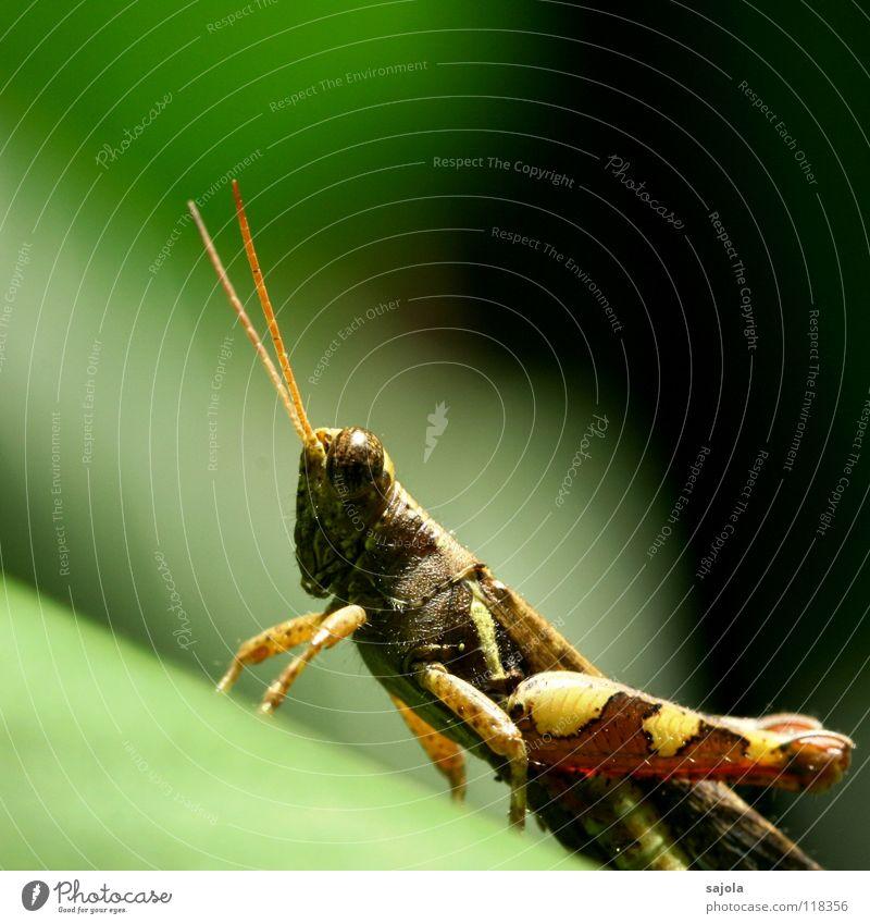 grasshopper Umwelt Natur Tier Urwald Tiergesicht Heuschrecke Insekt Steppengrashüpfer Hinterbein Fühler Beine Auge 1 beobachten warten braun grün Singapore