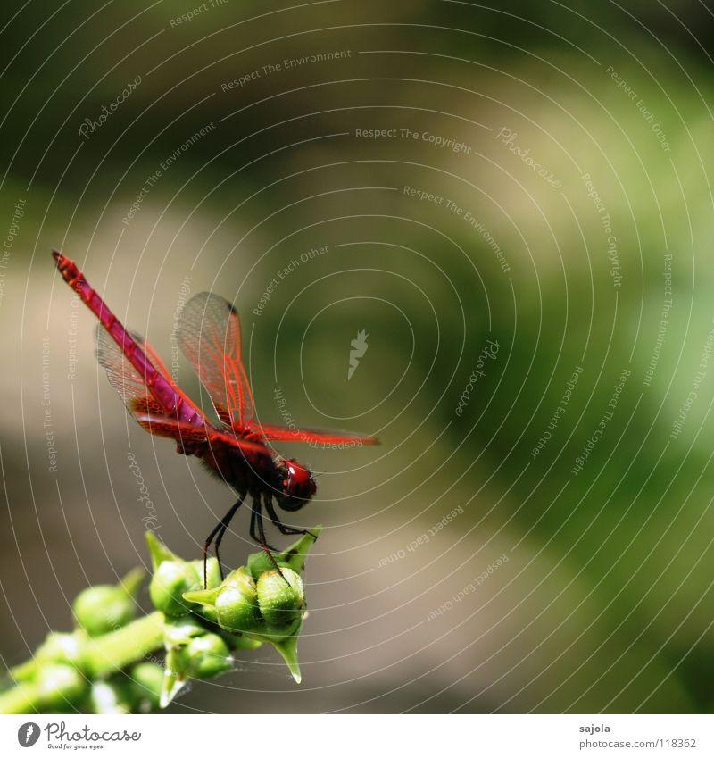think pink II Pflanze Tier Flügel Libelle Libellenflügel Insekt Auge Facettenauge 1 warten ästhetisch rosa Asien Singapore Aurora segellibelle Farbfoto