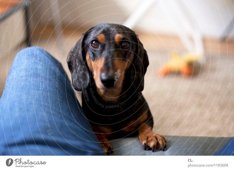 öhm, spielen? Häusliches Leben Wohnung Möbel Sofa Raum Mensch Beine 1 Jeanshose Tier Haustier Hund Dackel beobachten Spielen niedlich Freude Glück Lebensfreude