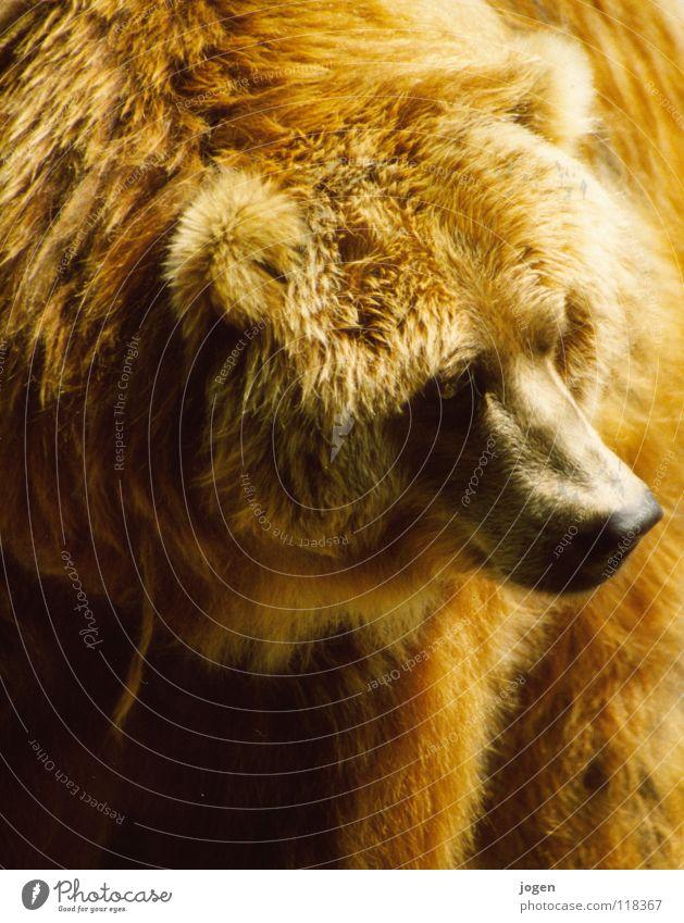 Bruno? Natur Tier braun Nase gefährlich Wildtier bedrohlich weich Fell Zoo stark Pfote Säugetier kuschlig Umweltschutz Bär