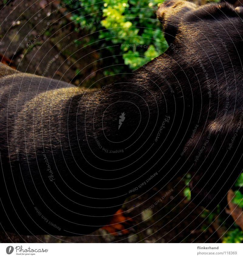 hündische vogelperspektive Hund groß braun Angsthase grün Sommer Schrebergarten Blume Dobermann lang Gartenweg Grüner Daumen Gras Vogelperspektive Säugetier