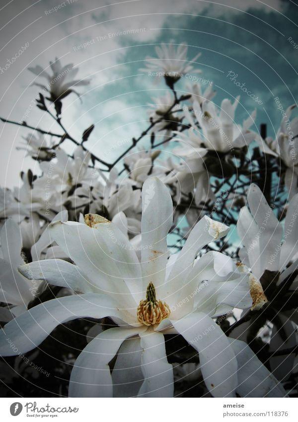 auf der suche nach etwas sonne Blume Wolken weiß dunkel schlechtes Wetter Blüte Nachmittag Froschperspektive Stern-Magnolie Magnoliengewächse Sommer