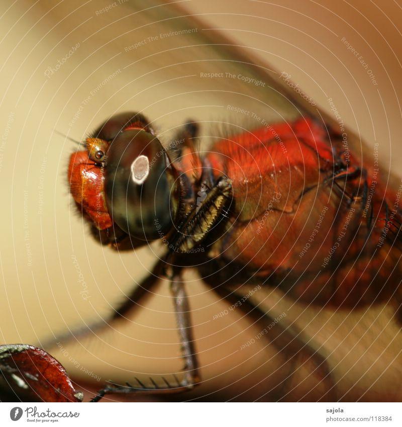 wer beobachtet wen? Natur Tier Tiergesicht Flügel Libelle Libellenflügel Auge Facettenauge 1 beobachten warten Insekt Asien Singapore Beine Groß Libelle