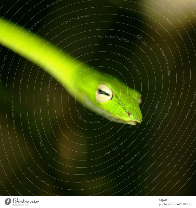 rückzug! Tier Wildtier Schlange Tiergesicht 1 grün Natter Auge Kopf Reptil Gift Rückzug Botanischer Garten Singapore Asien Schlitz peitschennatter Farbfoto