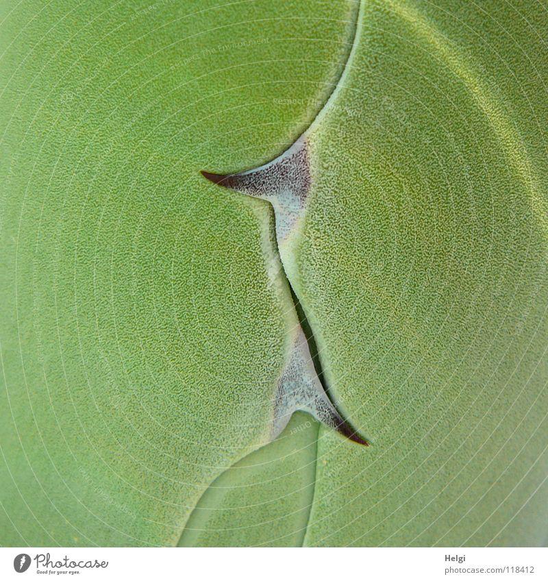 Nahaufnahme von Agavenblättern mit spitzen Dornen Pflanze Sukkulenten Kaktus grün braun Wachstum Zierpflanze Zusammensein nebeneinander groß klein gedeihen