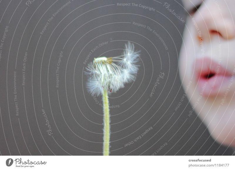 außer Puste feminin Kind Gesicht Mund 1 Mensch 3-8 Jahre Kindheit Frühling Wind Blume Löwenzahn frisch grau grün Fröhlichkeit Lebensfreude Frühlingsgefühle