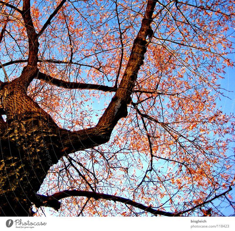 Herbstbaum Himmel Baum blau Blatt kalt braun Umwelt Wachstum Ast Baumstamm Umweltschutz