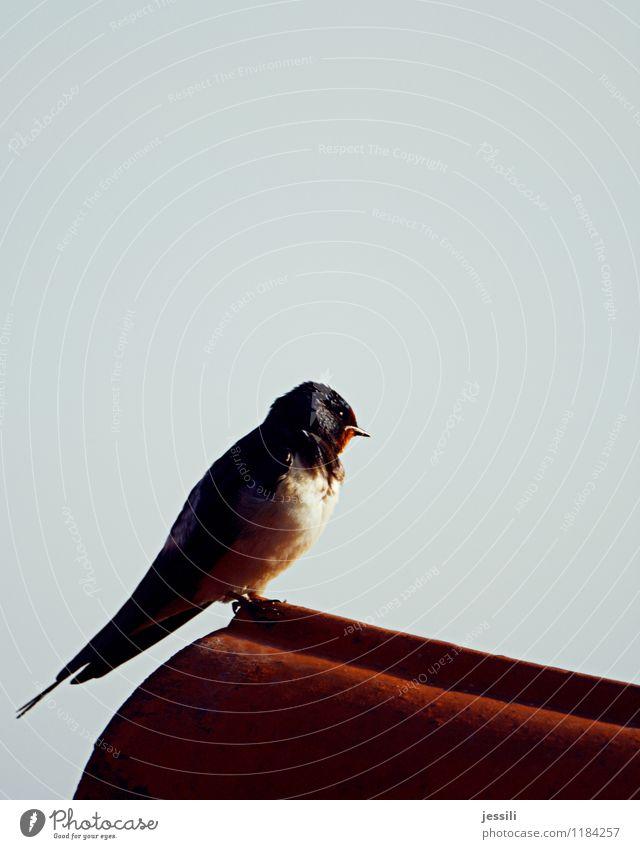 So.So Vogel 1 Tier beobachten Denken hocken Blick sitzen lernen träumen Traurigkeit Ferne natürlich retro rot schwarz Tapferkeit selbstbewußt Verschwiegenheit