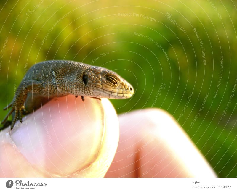 Little sleep dragon Reptil Lizard