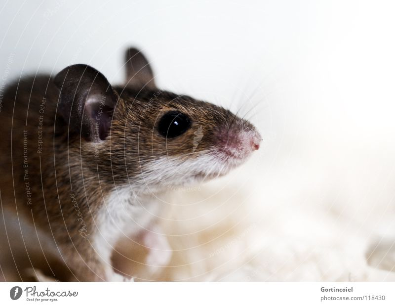 Kleiner Racker Haustier Maus Tiergesicht Fell 1 klein niedlich braun Knopfauge Nagetiere winzig Säugetier Schädlinge Afrikanische Knirpsmaus Zwergmaus