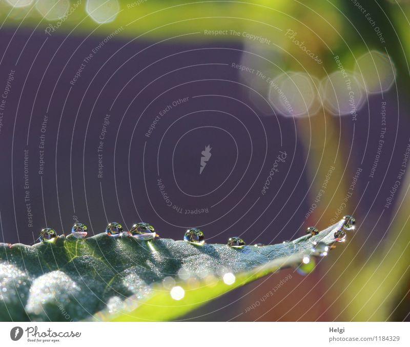 Tauperlen... Umwelt Natur Pflanze Wassertropfen Frühling Blatt Garten glänzend leuchten ästhetisch außergewöhnlich frisch klein nass natürlich rund braun grau