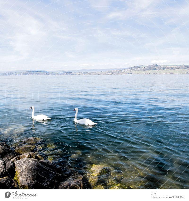 am Murtensee harmonisch Ausflug Sommer Wellen Natur Tier Urelemente Wasser Frühling Schönes Wetter Küste Seeufer Schweiz schwarz Wildtier Schwan 2 Tierpaar