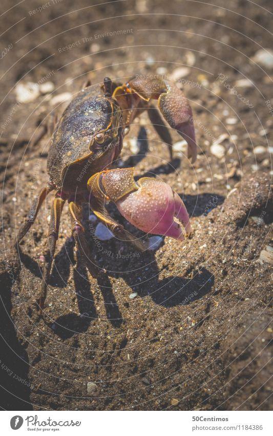 Kleiner Krebs am Strand Sommerurlaub Natur Sand Seeufer Flussufer Tier Wildtier Krallen Krebstier 1 Freiheit Farbfoto Gedeckte Farben Detailaufnahme