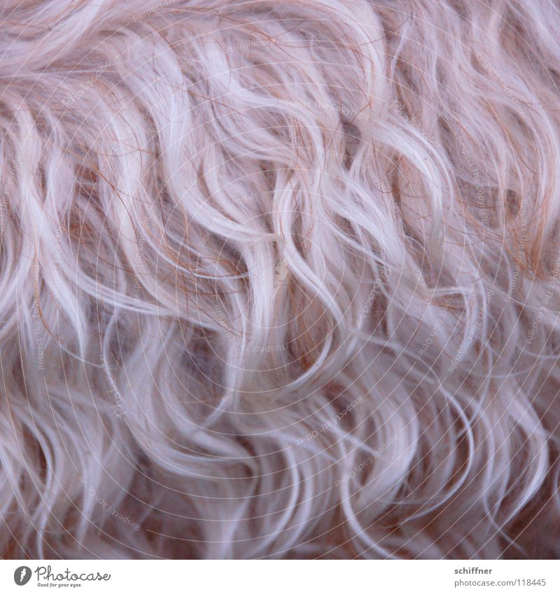 ...und bitte die Strähnchen schön dünn! Hund blond Fell Säugetier lockig buschig wellig Terrier Wellenform Zottel Fellpflege Hundesalon