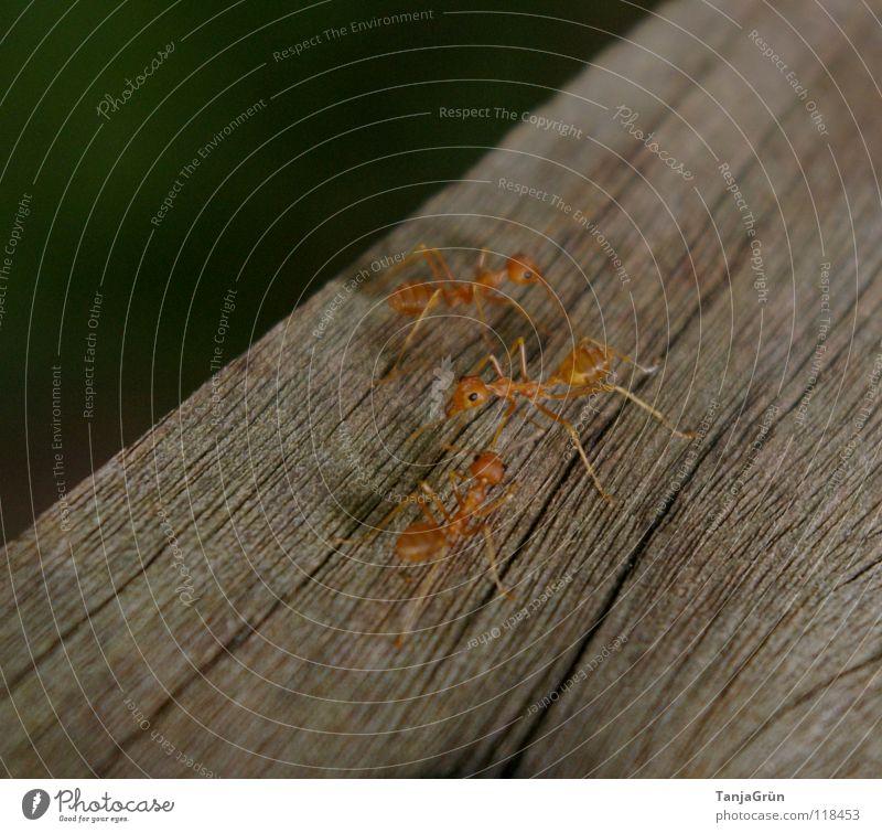 Antz Ameise Holz Tier braun Insekt Spurwechsel Gegenverkehr Spuren Schädlinge Makroaufnahme Nahaufnahme Baumstamm Rießenameisen Fuß Maserung orange wuseln