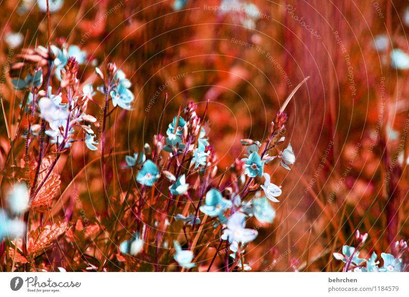 ohrwurm... Umwelt Natur Pflanze Frühling Sommer Herbst Schönes Wetter Blume Gras Blatt Blüte Veronica Garten Park Wiese Feld Blühend Wachstum schön klein blau