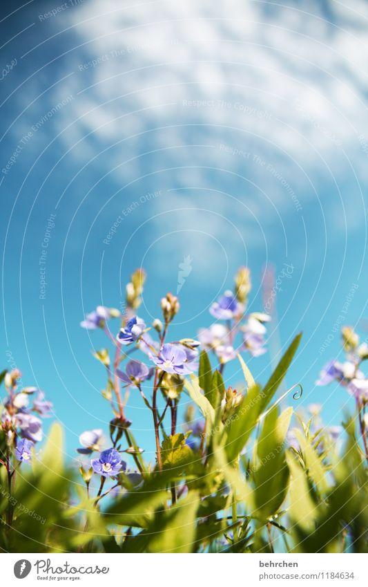 käfer sein Natur Pflanze Himmel Wolken Frühling Sommer Herbst Schönes Wetter Blume Blatt Blüte Wildpflanze Veronica Garten Park Wiese Feld Blühend verblüht