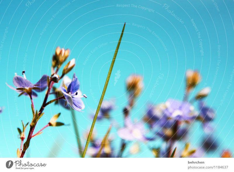 sommerlich... Natur Pflanze Himmel Wolkenloser Himmel Sonnenlicht Frühling Sommer Herbst Schönes Wetter Blume Gras Blatt Blüte Veronica Garten Park Wiese Feld