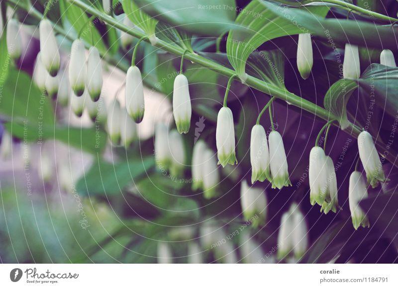 Lass dein schönes Köpfchen nicht hängen Pflanze weiß Blatt Frühling Blüte Garten Kopf Park frisch mehrere Blühend niedlich viele zart Stengel
