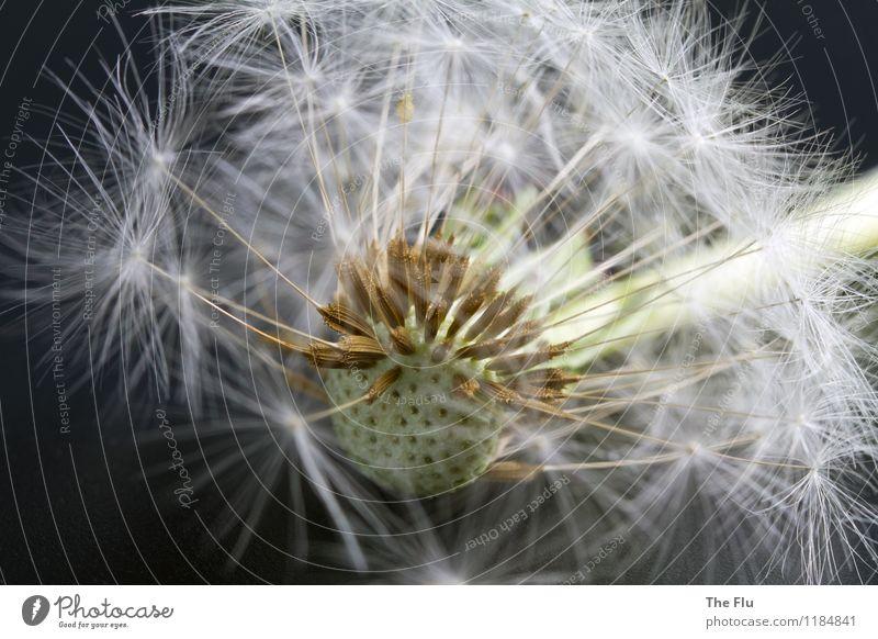 Auf dem Absprung Pflanze Blume Blüte Wildpflanze Löwenzahn Samen Samenpflanze Blühend fallen fliegen verblüht dehydrieren ästhetisch schön braun grau weiß