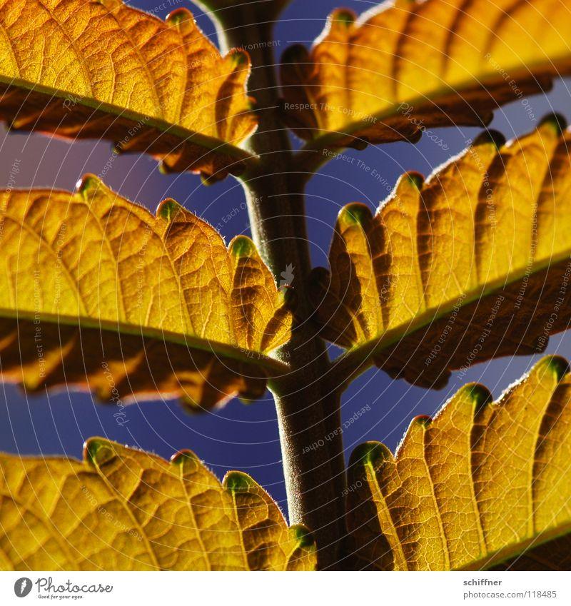 <100> Details am Blattstil Stil Sommer Pflanze Beleuchtung hell Blattstruktur Sonne Wärme Farbe gold Detailaufnahme Makroaufnahme