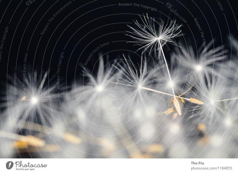 Primus inter pares Pflanze Blume Löwenzahn Samen Blühend fliegen glänzend leuchten träumen verblüht dehydrieren Wachstum außergewöhnlich elegant braun schwarz