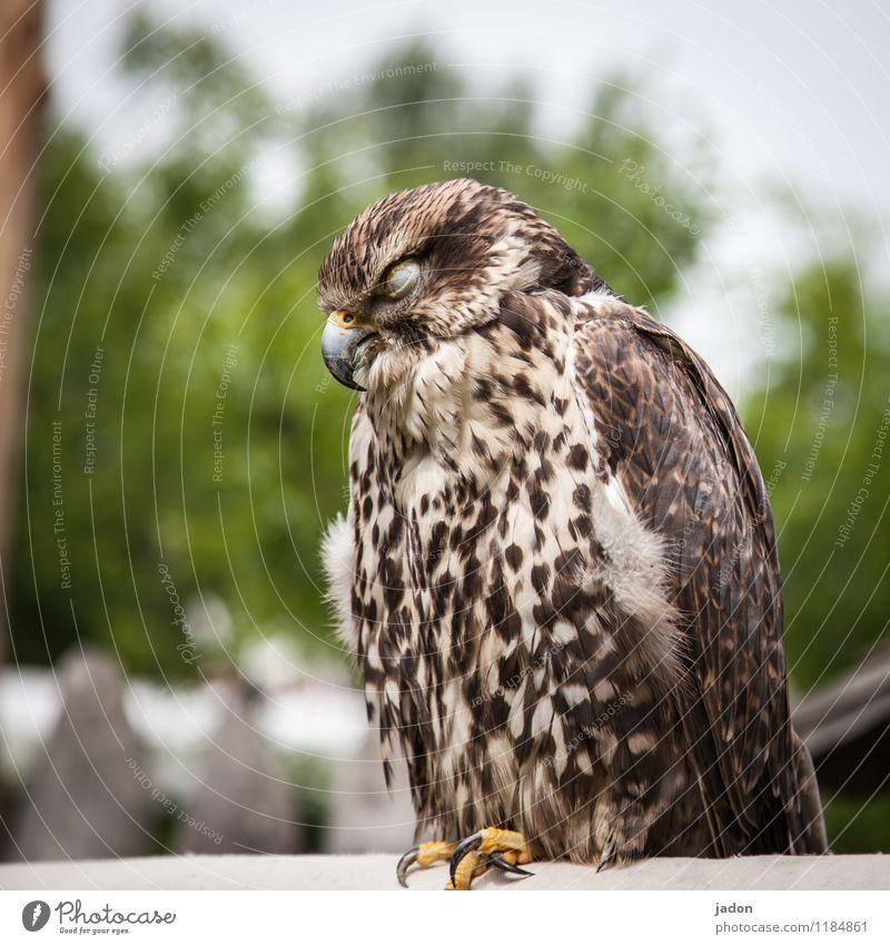 horchposten. Körper Erholung Tier Wildtier Vogel Flügel 1 schlafen sitzen Coolness Geborgenheit Wachsamkeit ruhig Erschöpfung Natur Greifvogel Bussard Feder