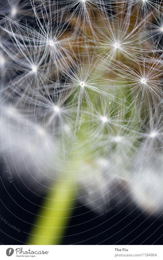 Die Schönheit liegt im Detail Umwelt Pflanze Frühling Blume Wildpflanze Löwenzahn Samenpflanze Blühend fliegen verblüht ästhetisch schön braun grau grün weiß