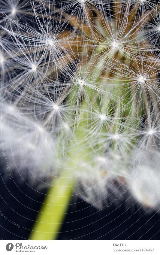 Feuerwerk der Natur Frühling Blume Löwenzahn Pusteblume Garten alt Blühend fliegen Liebe träumen verblüht dehydrieren Wachstum außergewöhnlich natürlich braun