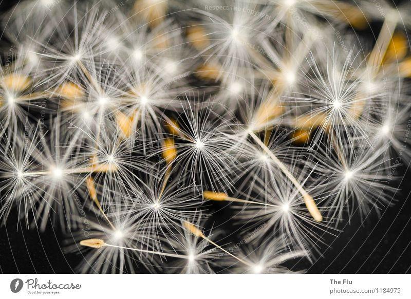 Filigrane Schönheit Natur Pflanze schön Sommer weiß Blume schwarz Frühling fliegen braun Wachstum ästhetisch Blühend zart Löwenzahn Schweben