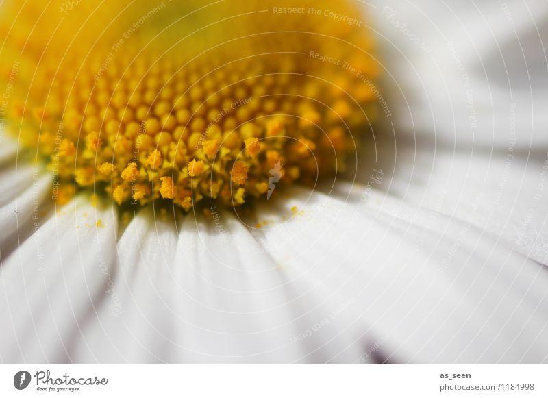 Blüte Design schön Gesundheit Gesundheitswesen Wellness Leben harmonisch Zufriedenheit Sinnesorgane Erholung Hochzeit Frühling Sommer Pflanze Blume Margerite