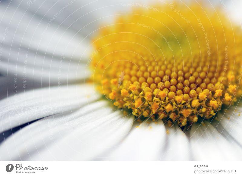Blüte im Mai Lifestyle schön Gesundheit Wellness Leben harmonisch Ferien & Urlaub & Reisen Sonne Garten Umwelt Natur Frühling Sommer Pflanze Margerite Kamille