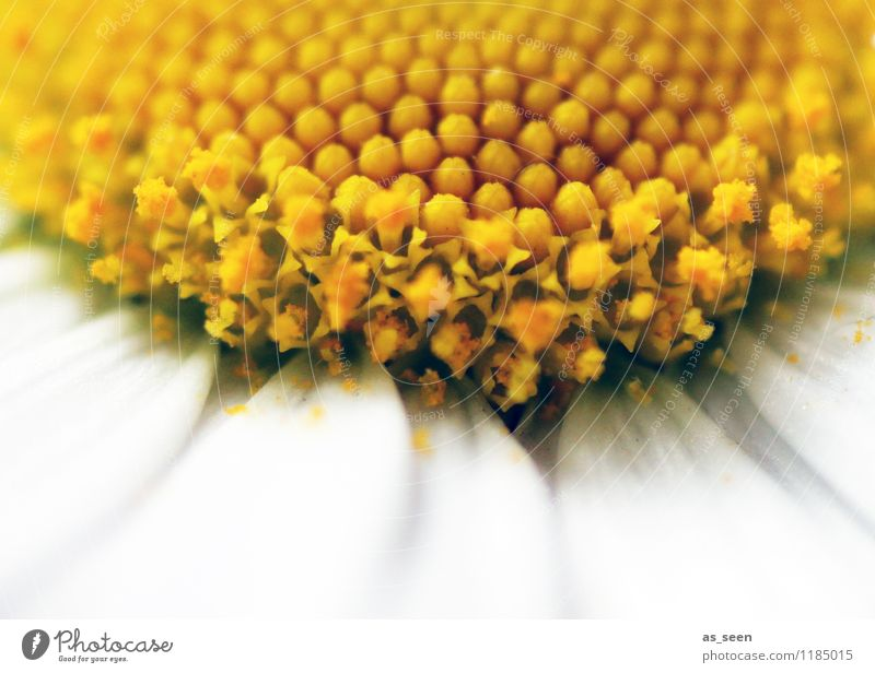 Inneres Natur Pflanze schön Farbe Sommer weiß Blume gelb Frühling Blüte Wiese Garten Ordnung gold authentisch ästhetisch